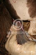 Geboorte van een veulen