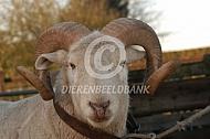 Wiltshire Horn ram