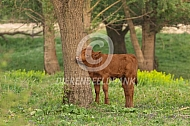 Rode geus in natuurgebied