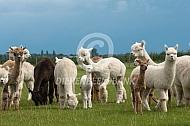 Kudde alpaca