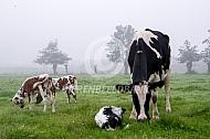 Koe met witrikkalf