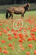 IJslander paard tussen de klaprozen