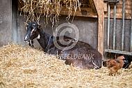Poitevine geit in het stro