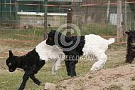 Spelende Walischer lammeren
