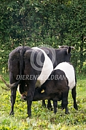 Lakenvelder koe met drinkend kalf