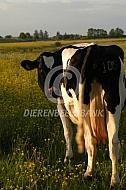 Zwartbonte Holstein Friesian in bloenrijke wei