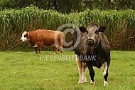 Het Koeienrusthuis