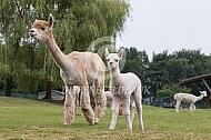 Op de alpaca boerderij
