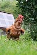 Hittestress bij een kip