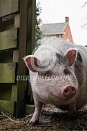Minivarken in de tuin