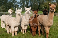 Kleine kudde alpaca's