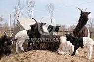 Wallische geiten met lammeren