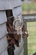 Boergeit in de stal