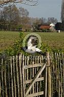Lakenvelder hoen vliegt over het hek
