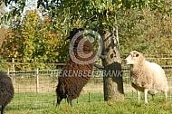 Ouessant schaap eet aan boom