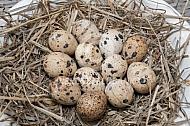 Japanse kwartel eieren