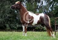 Amerikaanse miniatuurpaard