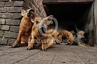 Hongaars wolvarken of Mangalitza