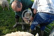 Vaccineren van een schaap