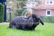 Meissner hangoor konijn (zwart)