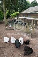 Cochin kippen met kippenhok