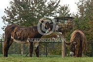 Poitou ezels bij een hooiruif