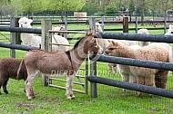 Miniatuur ezels met alpaca