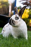 Rijnlander konijn