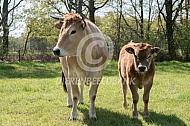 Marachine koe met stierkalf