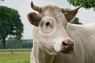 Charolais vleesvee