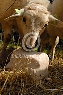 Mergelander lam met liksteen