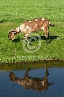 Nubische geit aan het water