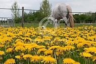 Wei vol met paardenbloemen