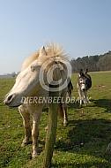 IJslander paard met jeuk