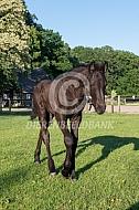 Fries paard met veulen
