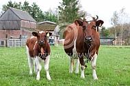 Fries roodbont  koe met kalf