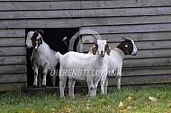 Boergeit voor hun stal