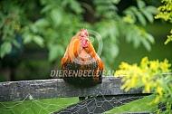Kippen op een hek