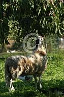 Schoonebeeker eet van boom