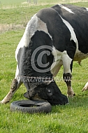 Holstein Friesian stier Eclips