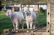 Twee angora geiten