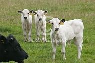 Kalveren white park cattle