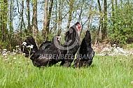 Kraaikop (zwart) hen en haan