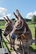 Twee Mediteranne mini-ezels