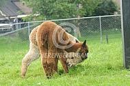 Spelende jonge alpaca's