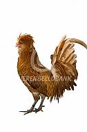Nederlandse Baardkuifhoen haan (geelwit gezoomd)