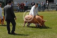 Keuring van varkens in Engeland (tamworth)