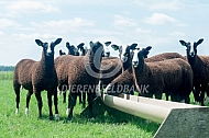 Zwartbles schapen bij voerbak