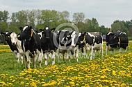 Holstein friesian tussen de paardenbloemen