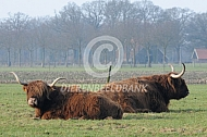 Schotse Hooglanders in de wei
